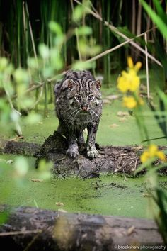 Fisher Cat - brookshaw wildlife photography