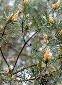 Syrop z pędów sosny II przepis | Sprawdzona Kuchnia Weed, Plants, Marijuana Plants, Plant, Planets