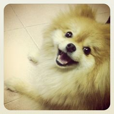 Pomeranian Just Can't Stop Smiling