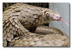 Snake + Anteater = Pangolin