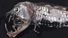 In 4000 bis 6000 Meter Tiefe leben zum Teil bizarre Kreaturen