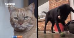 Um gato foi salvo da morte na Nova Zelândia graças ao sangue doado por um cachorro, um caso raríssimo de transfusão entre espécies