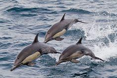 Mexico, Baja California Sur, three common dolphins leaping near the National Geographic Sea Bird. Photo © Michael S. Nolan wildlifeimages.net