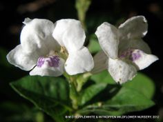 The genus Asystasia belongs to the family Acanthaceae and comprises approximately 70 species found in the tropics, including the weedy species Asystasia gangetica.
