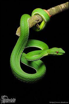 New-Wildlife-Fotografie-Robert-Irwin-- Trimeresurus stejnegeri Les Reptiles, Cute Reptiles, Reptiles And Amphibians, Mammals, Pretty Snakes, Beautiful Snakes, Wildlife Photography, Animal Photography, Beaux Serpents