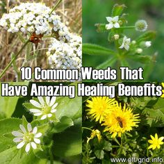 Please Share This Page: Photos – Wikipedia: 1 2 3 4 – lic. under CC 3.0 We discovered a fantastic guide to making use of common weeds for home remedies! These plants are typically considered useless by those who have no knowledge of herbalism. This guide (link at the end) will tell you the basics [...]