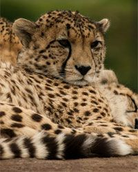 A new study shows that the same gene that gives a Cheetah its glorious spots also gives the tabby cat its wonderful stripes (article).
