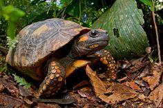 Yellow-Footed Tortoise (Chelonoidis denticulatus)