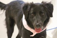 NAME:Eboni ANIMAL ID: 28108579 BREED: Lab Ret. mix SEX: Female - Spayed EST. AGE:1yr Est Weight:43 lbs Health:Heartworm neg Temperament:dog friendly, people friendly ADDITIONAL INFO: RESCUE PULL FEE:$15 Intake date:6/15 Available:Now