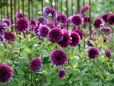 The classic purple dahlia. Thomas Edison's extra-large, velvety petals give this dinnerplate dahlia a regal look. Purple Dahlia, Purple Flowers, Dahlia Flowers, Deep Purple, Pink Petals, Rare Flowers, Purple Tips, Flower Colour, Blooming Flowers