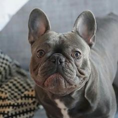 Frank, the French Bulldog.❤❤❤❤❤