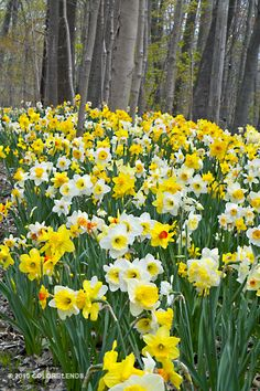 Colorblends Daffodil Spring Loaded I just ordered 1000!