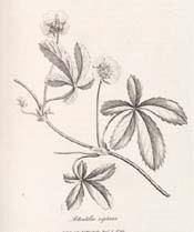 Creeping cinquefoil –  good use for canker sores, fevers, piles, skin inflammations