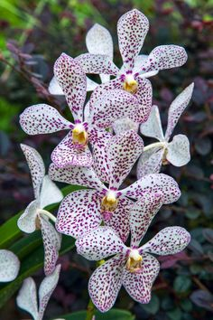 https://flic.kr/p/foi2YG | Orchid in Singapore Botannical Gardens | Orchid in…