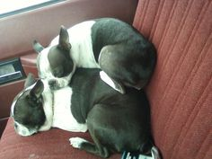 Dogs Sleeping in the Car - Zoey and Zeus (Photo) - http://www.bterrier.com/?p=11195