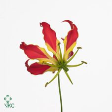 Gloriosa Bags Short (Qty 75 Stems)  A beautiful and unique flower that is certainly going to raise a few eyebrows due to its stunning colours and peculiar shaped tendrils. Originating in Africa and the tropics of Asia and was once widely used for its medicinal value. Never fails to amaze and will add pizazz to any arrangement ! Packed 75 stems per box.