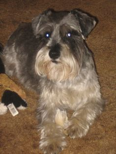 My Miniature Schnauzer Bubba---he's my baby.  They are truly the best dog breed.  Smart, loyal, loving....They want to be part of the family and everything you do.  As a bonus they don't shed!  :-)