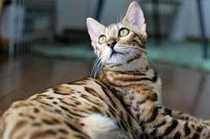 All You Require To Know About The Bengal Cat Domestic Cat Breeds, Asian Leopard Cat, Egyptian Mau, Lots Of Cats, Bengal, Kitty, Dogs, Animals, Google