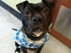"""SAFE!!!!  WAS TO BE DESTROYED WED 1/8/14 - Manhattan Center -  Name: BRODY - A0988453  MALE BOSTON TERRIER MIX, 1 yr, 4 mos.  Volunteer writes: Little Brody is all about wanting to play and snuggle. A compact little guy. Lived with other dogs, """"play fights"""", is friendly to all animals, knows 'sit' and 'lie down', is active and playful. Loves people, going into the play position with me, and wagging his tail in friendship at other dogs we met. Took reward treats gently. Super friendly little…"""