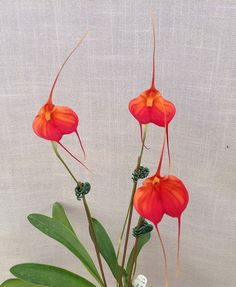 Masdevallia Marguerite 'Lehua 12 Miles' AM/AOS (veitchiana x infracta) CH-21314  Blooming plants - 17 inches tall (with pot) Flower - 3 inches vertical