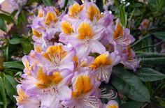 Hirsutum.info -- Rhododendron Hybrids/cultivars: 'Madame Albert Moser'