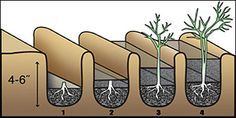 Healthy, one-year-old asparagus crowns should be planted 4 to 6 inches deep in a furrow http://landscapedesigners.tumblr.com/post/37270095930/growing-asparagus-in-missouri#
