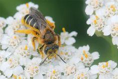 Wei mache ich meinen Garten Bienenfeundlich? NABU  // Wildbiene auf Schafgarbe - Foto: Helge May