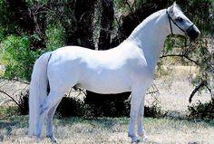 Lipizzaner horse   Favory Pallavicina. Courtesy of owner Simmone Kalanj and photographer Delsharla Pet Pawtraits.