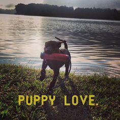 Puppy Love! www.grinandbearitblog.com Wit And Wisdom, Puppy Love, Boston Terrier, Puppies, Bear, Dogs, Cute, Animals, Boston Terriers