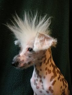 Chinese Crested Dogs - Bad hair day, which isn't fair because they don't have that much.