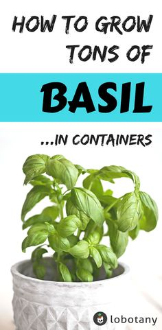 How To Urban Garden How to Grow Basil - Grow basil in a small to medium sized pot, sprinkling seeds thinly (about per pot) and covering with a fine layer of soil. Growing Herbs, Growing Vegetables, Basil Growing, Growing Gardens, Hydroponic Gardening, Hydroponics, Gardening Zones, Greenhouse Farming, Gardening Courses