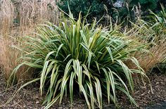 Phormium 'Duet'  No not like