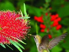 Top 50 water-wise plants Bottlebrush Hummingbirds love bottlebrush, a shrub with colorful flowers carried in dense, bristle-like spikes. Needs moderate water. Water Garden, Lawn And Garden, Garden Plants, House Plants, Red Flowers, Beautiful Flowers, Colorful Flowers, Water Flowers, Australian Native Garden