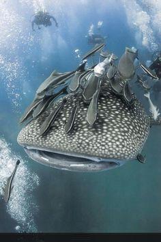 Whale shark; beautiful gentle giants of the sea