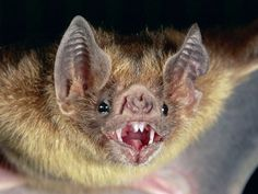 Vampires have long been engraved into society as entities of horror. Vampire bats have long been associated with characters such as Dracula. Hunting only when it is dark, vampire bats feast on the blood of mammals which can sometimes include humans. Scary Animals, Cute Animals, Bat Facts, Crazy Facts, Rainforest Animals, Vampire Bat, Creatures Of The Night, Mundo Animal, Gatos