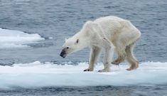"""""""The Future Of Polar Bears, In One Photograph."""" For the love of animals. Pass it on."""