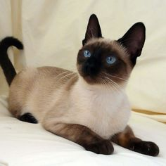 Seal Point Traditional Siamese -- wow, such bright blue eyes. I miss my…
