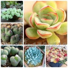 Bonsai flowers indoor fleshier plant, lithops stone flowers seeds, succulent seed, bonsai cactus plant  - 200 pcs seeds