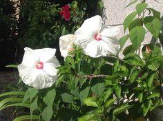 Un par de flores de la familia de Tulipanes Blancos