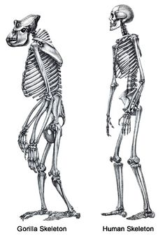 chimpanzee | animal anatomy photoref | pinterest | skeletons and, Skeleton