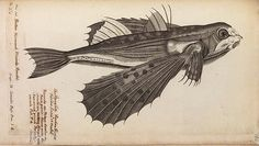 The Royal Society has launched an online archive of fascinating images, including flying fish, the first illustration of a kangaroo or wallaby, a heavily tattooed Maori, and the death mask of Isaac Newton