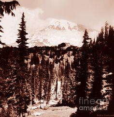 This photograph of the Mount Rainier Forest was taken by my Great Grandfather Omar Vernon in the Early 1900 era.