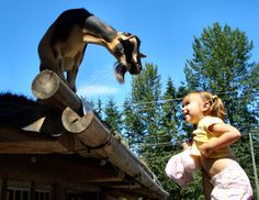 This photo from British Columbia, Western is titled 'Goats on the roof'. Victoria Vancouver Island, Central Island, British Columbia, Trip Planning, Funny Goats, North America, Castle, The Incredibles, Crazy Funny
