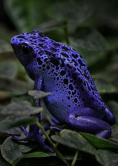 Blue Frog (by Nils H mother nature moments