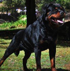 Von Ruelmann Rottweilers inc - German Rottweiler Puppies For Sale, German…