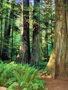 Old Growth Forest - Vancouver Island
