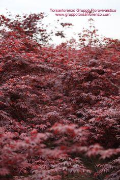 Acer palmatum ....