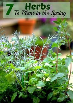7 Herbs to plant in the spring garden.