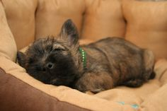 Fraggle the Cairn Terrier Pictures 2757 French Bulldog Puppies, Baby Puppies, Cute Puppies, Cute Dogs, Cairn Terrier Puppies, Terrier Breeds, Little Dogs, Big Dogs, Westies