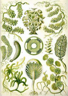 Chlorophyta (green algae).  Is this an E. Haeckel illustration of Acetabularia acetabulum?